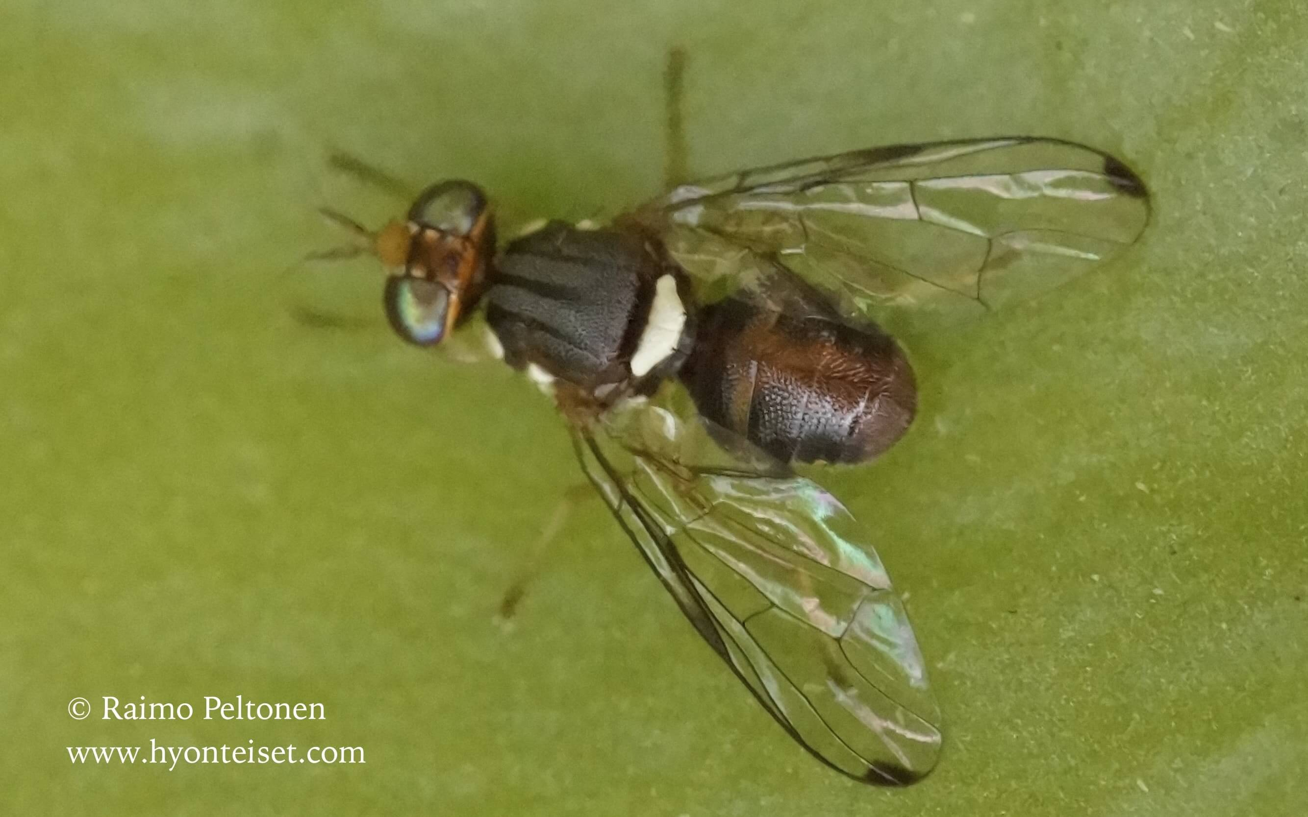 Bactrocera oleae (Tephritidae) (det. Paul Beuk) GRAN CANARIA