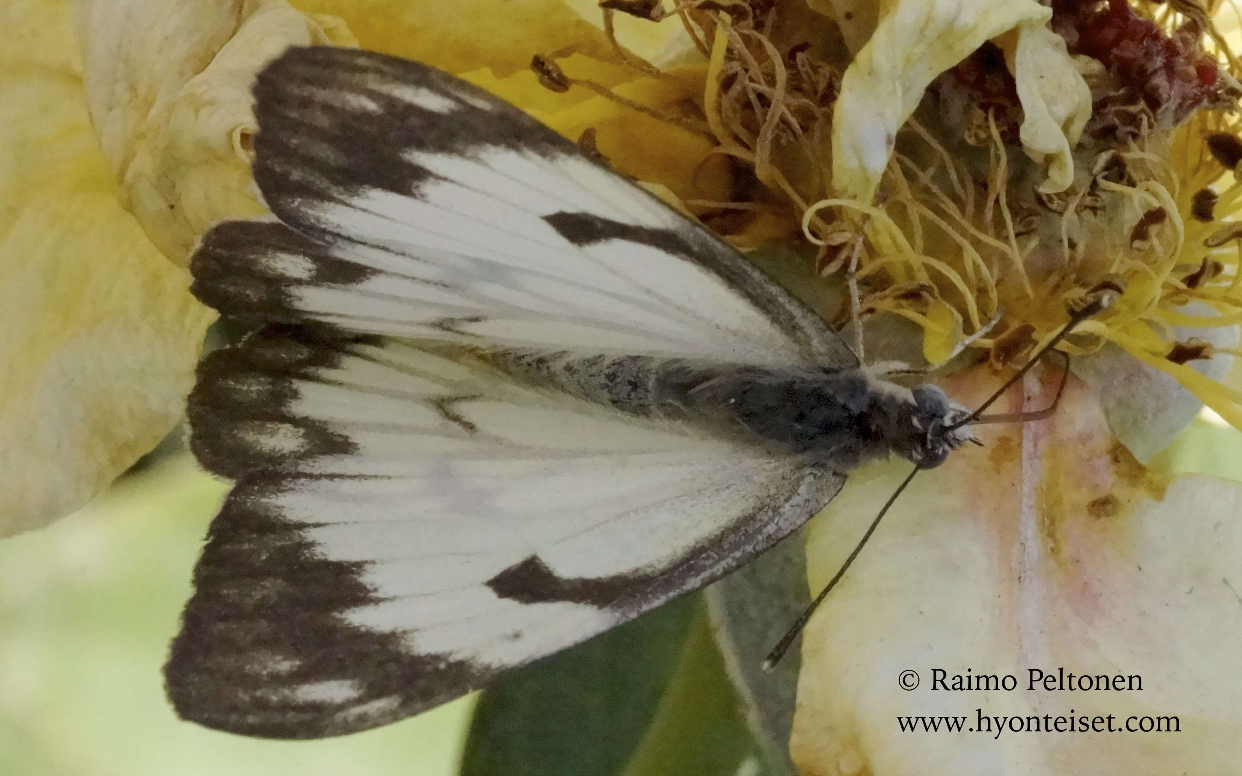 Belenois aurotata (Pieridae) GRAN CANARIA