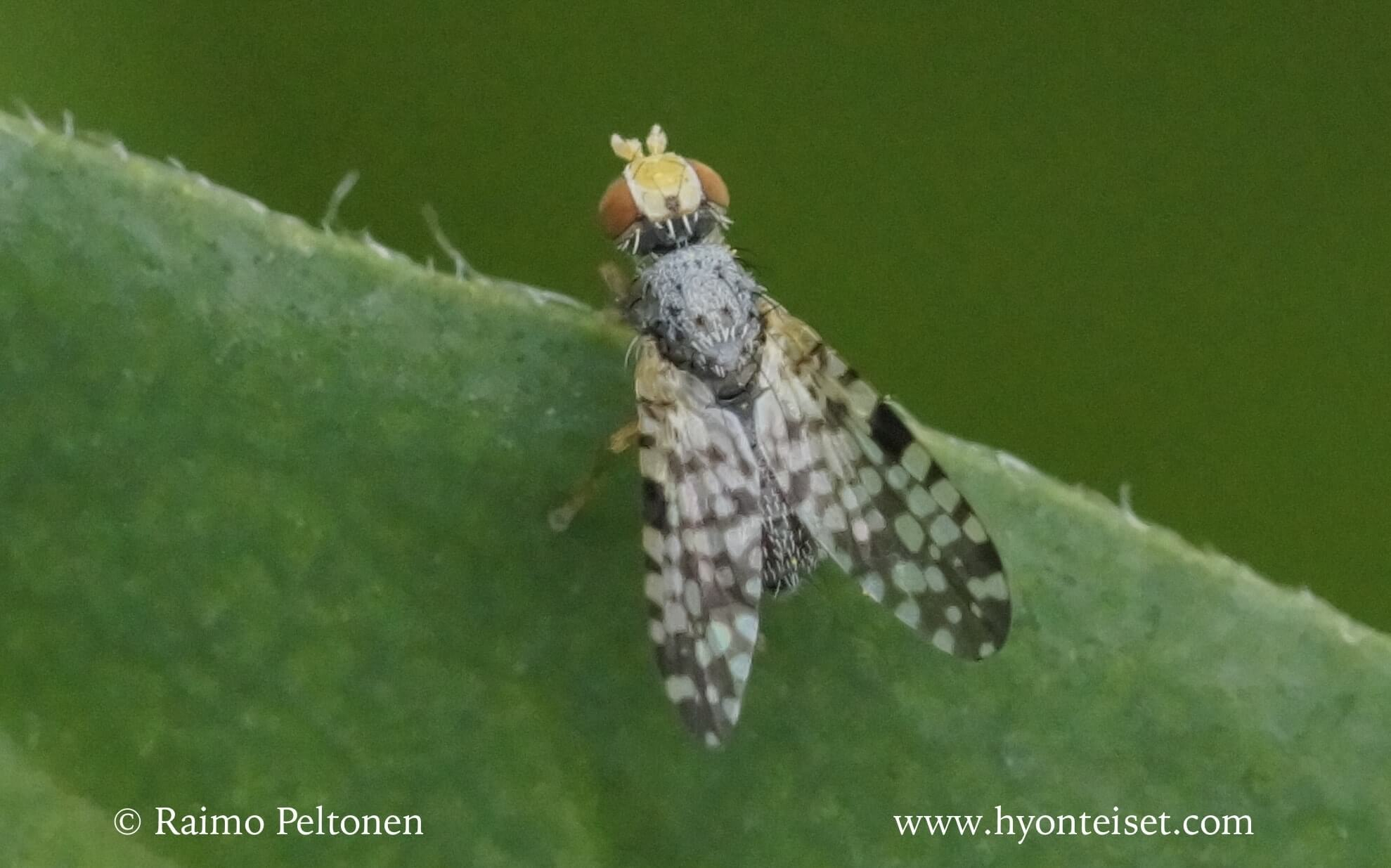 Campiglossa absinthii/punctella (det. Ben Hamers)