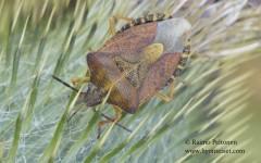 Carpocoris purpureipennis 1