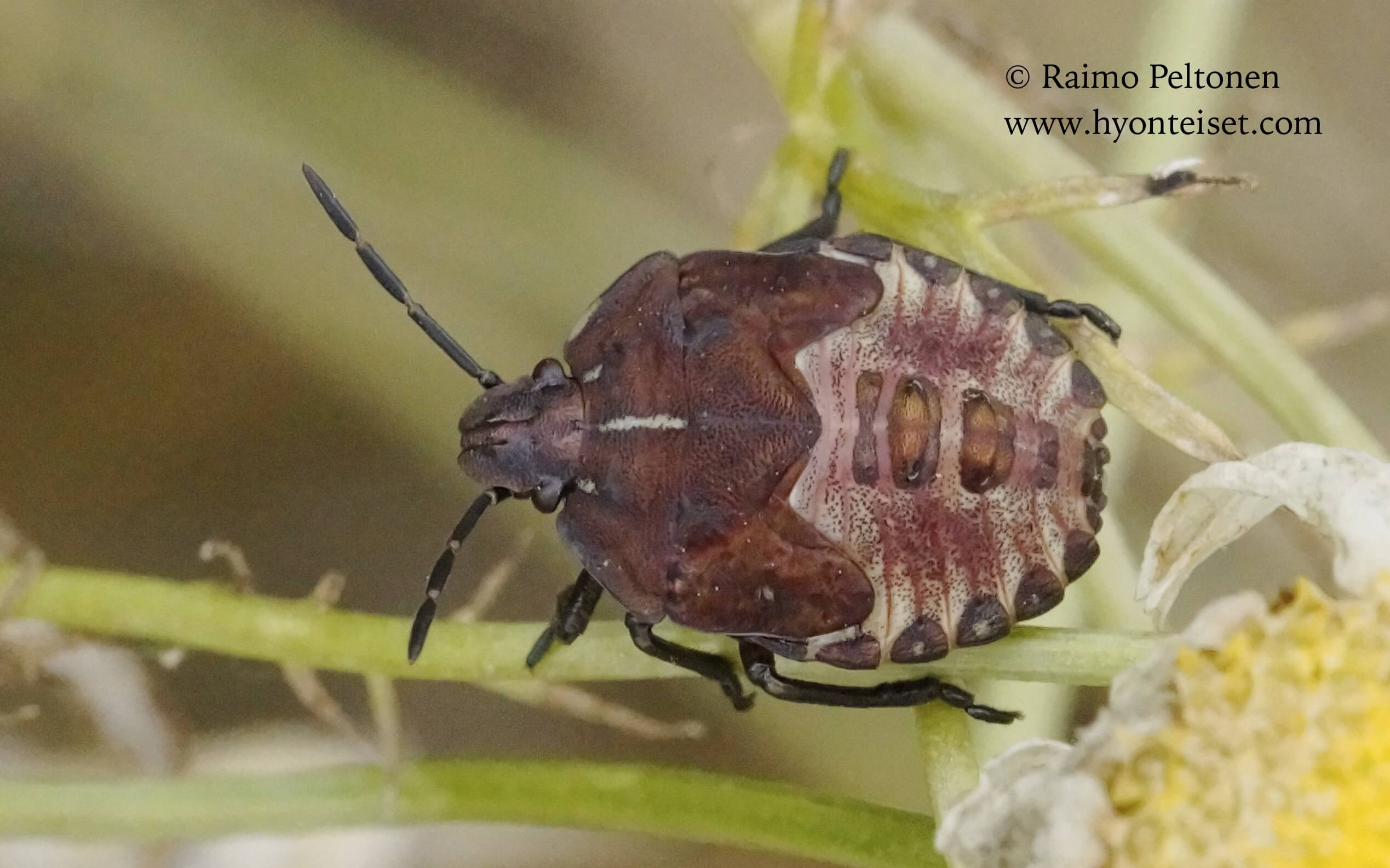Carpocoris purpureipennis-kuparilude, nymfi (det. Veikko Rinne)