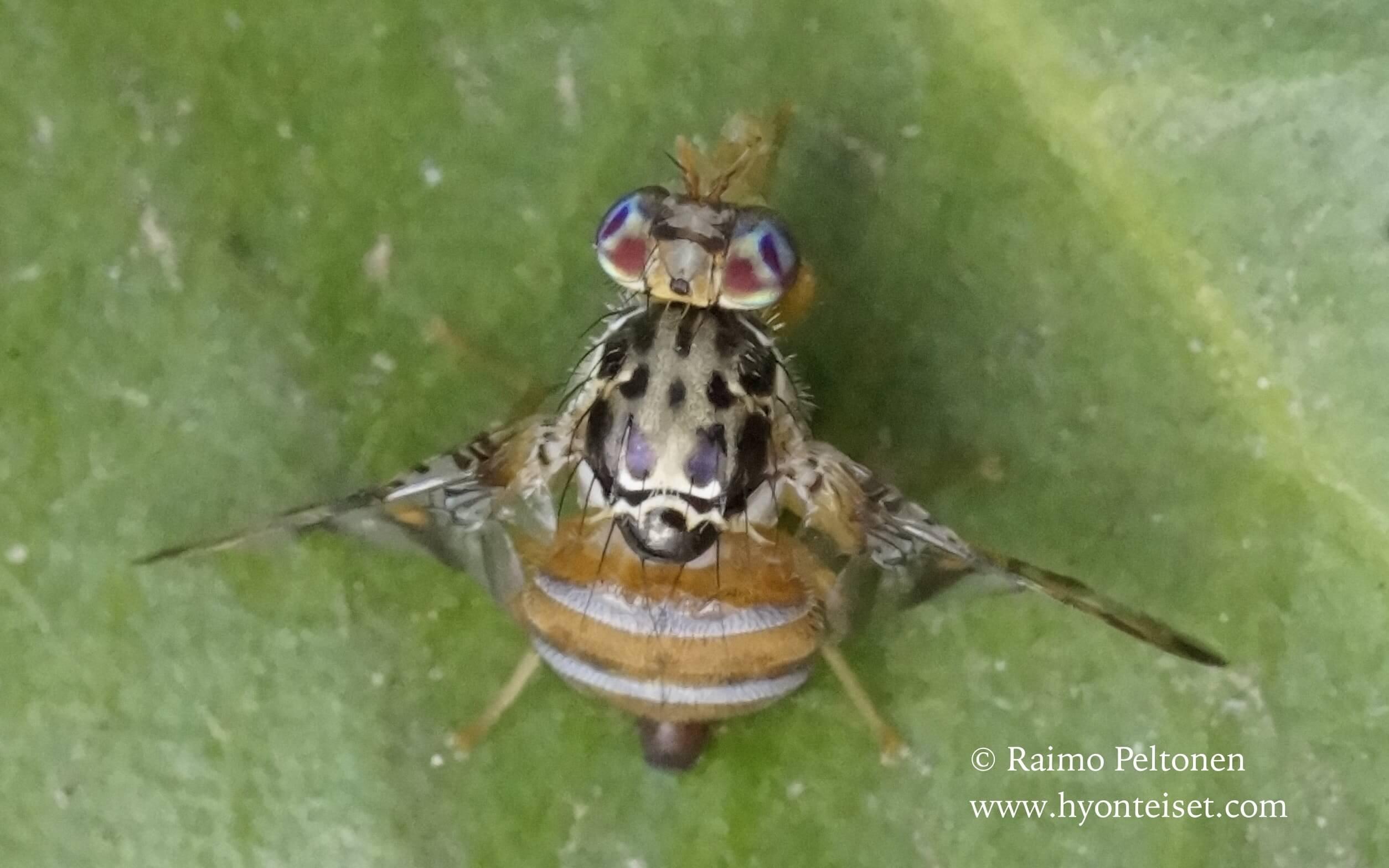 Ceratitis capitata (Tephritidae) (det. Jose Fernandez) GRAN CANARIA