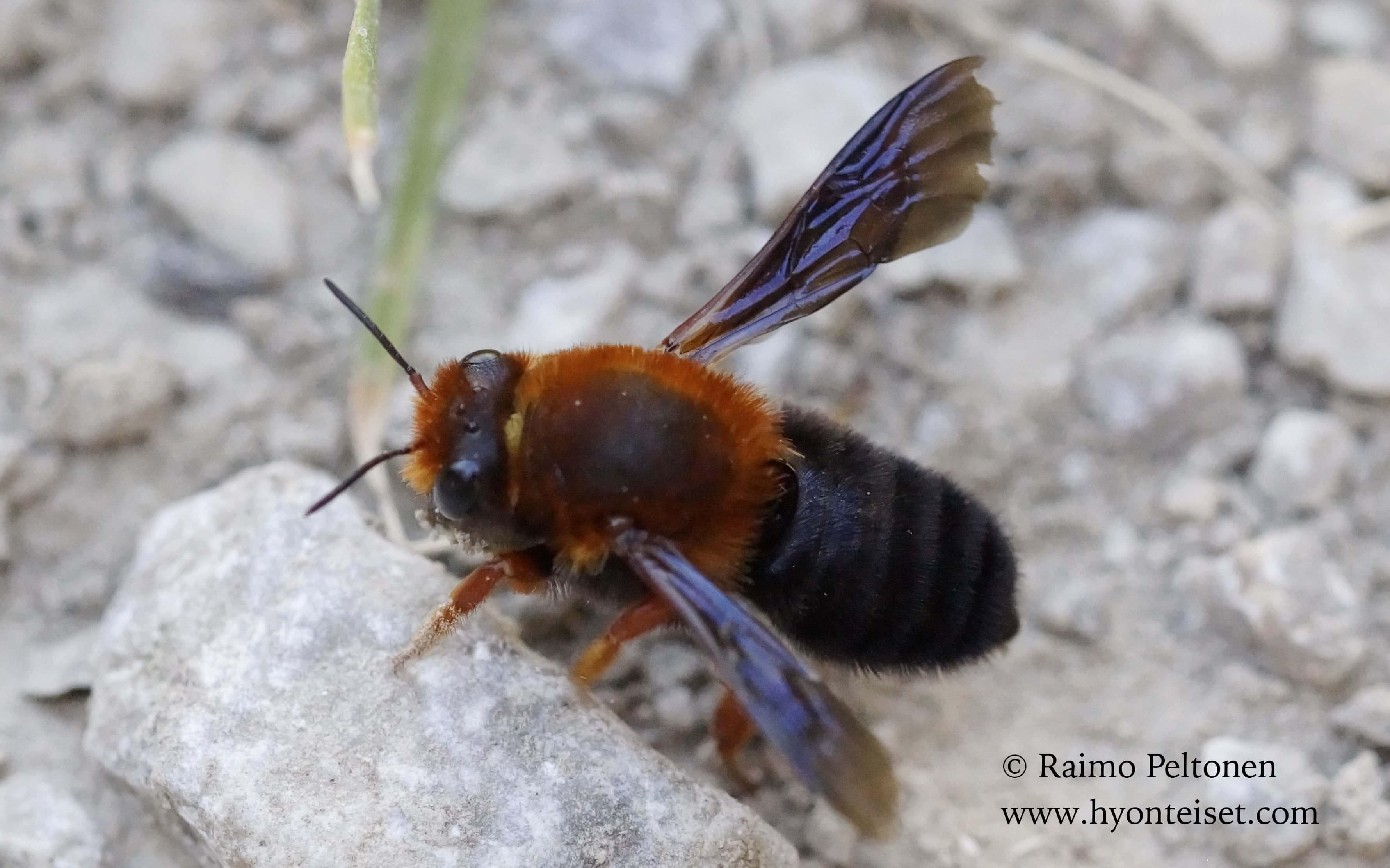 Chalicodoma sicula (Apidae) (det. Bego Vega) MALLORCA
