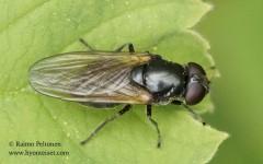 Cheilosia albitarsis 1