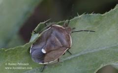 Chlorochroa pinicola