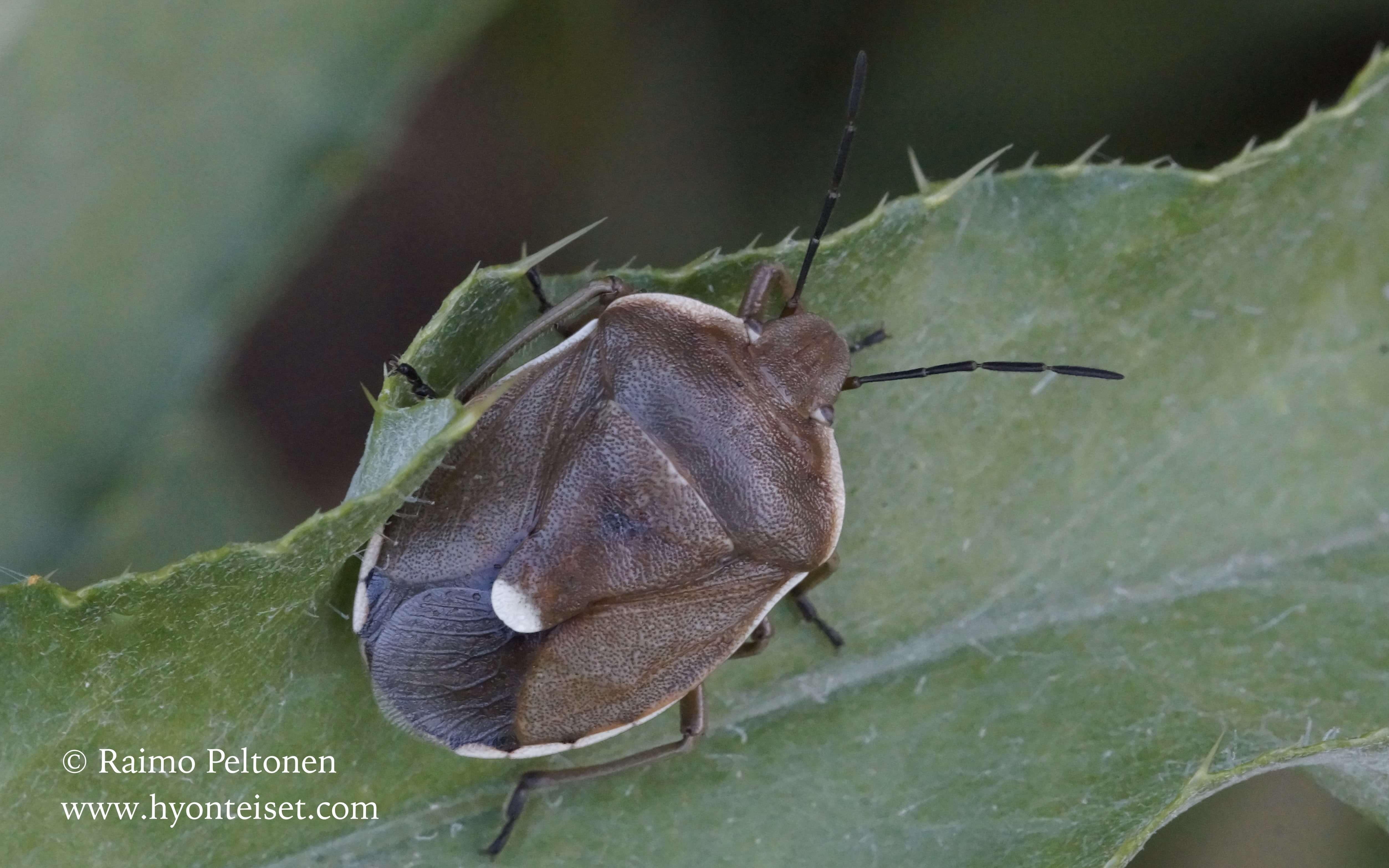 Chlorochroa pinicola-mäntylude
