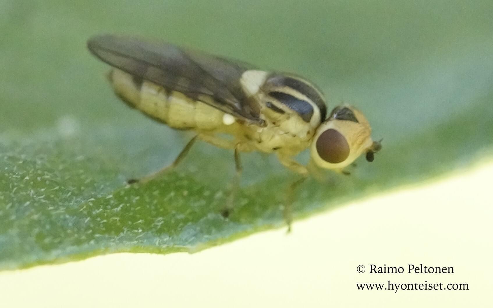Chlorops/Thaumatomyia sp. (det. Kaj Winqvist)