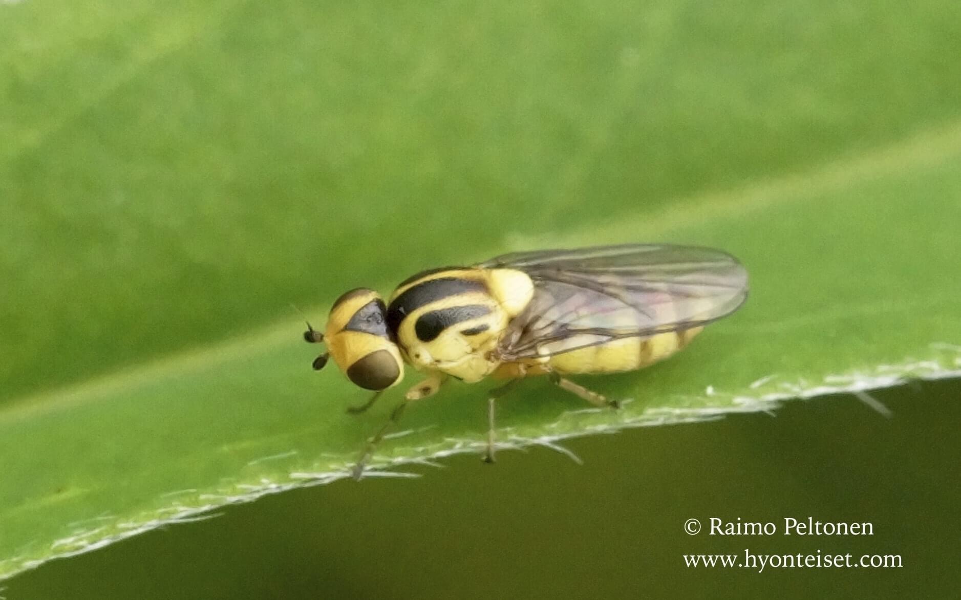 Chlorops sp. (det. Paul Beuk)