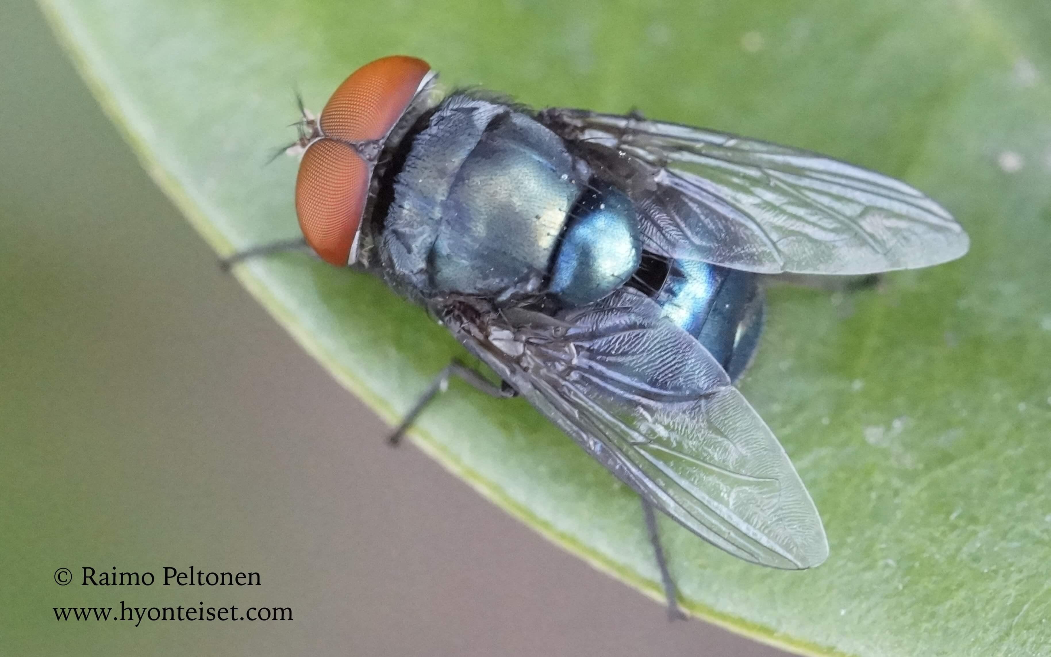 Chrysomyia megacephala (Calliphoridae) (det. Piluca Alvarez) GRAN CANARIA