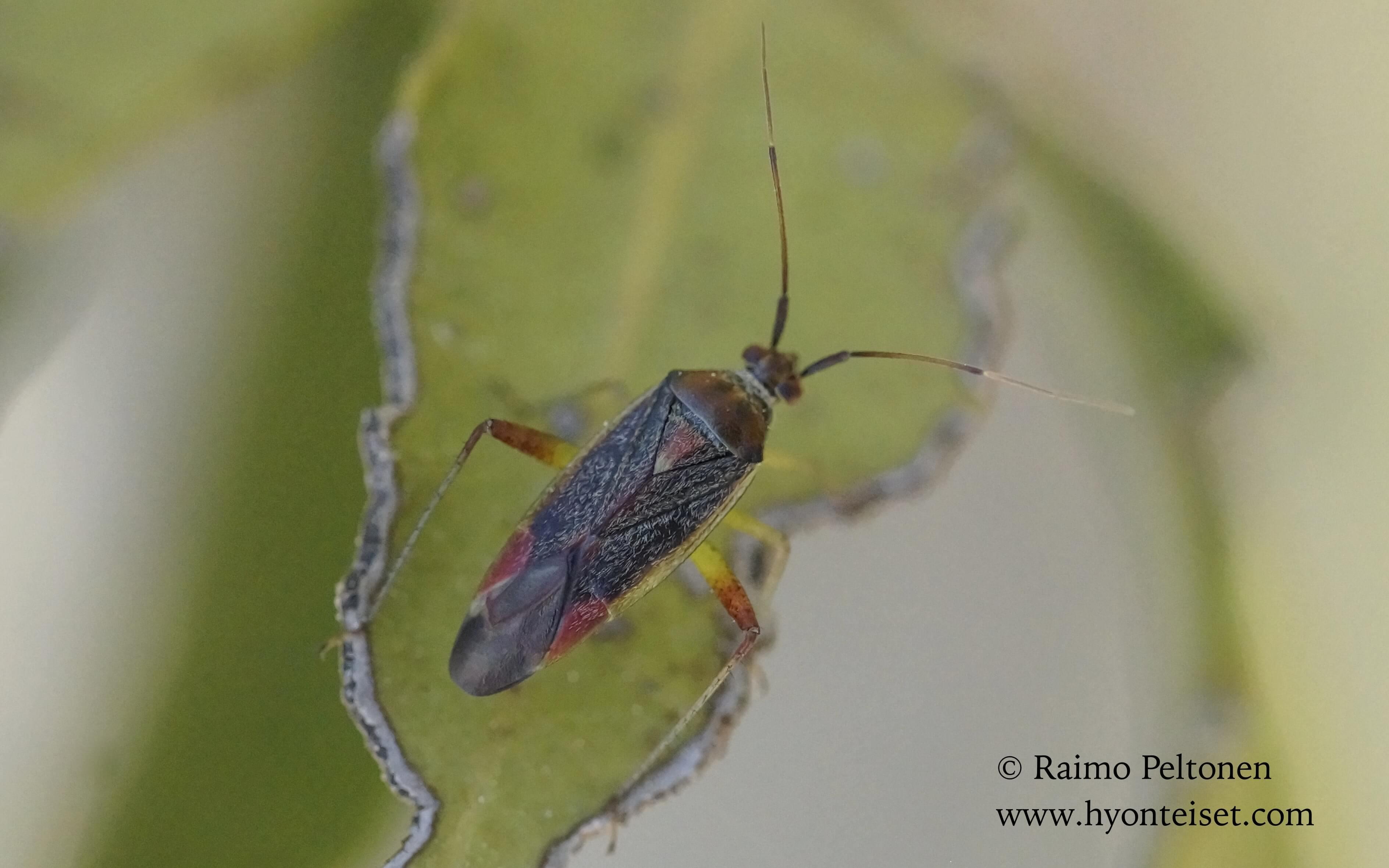 Closterotomus trivialis, koiras (Miridae) MALLORCA