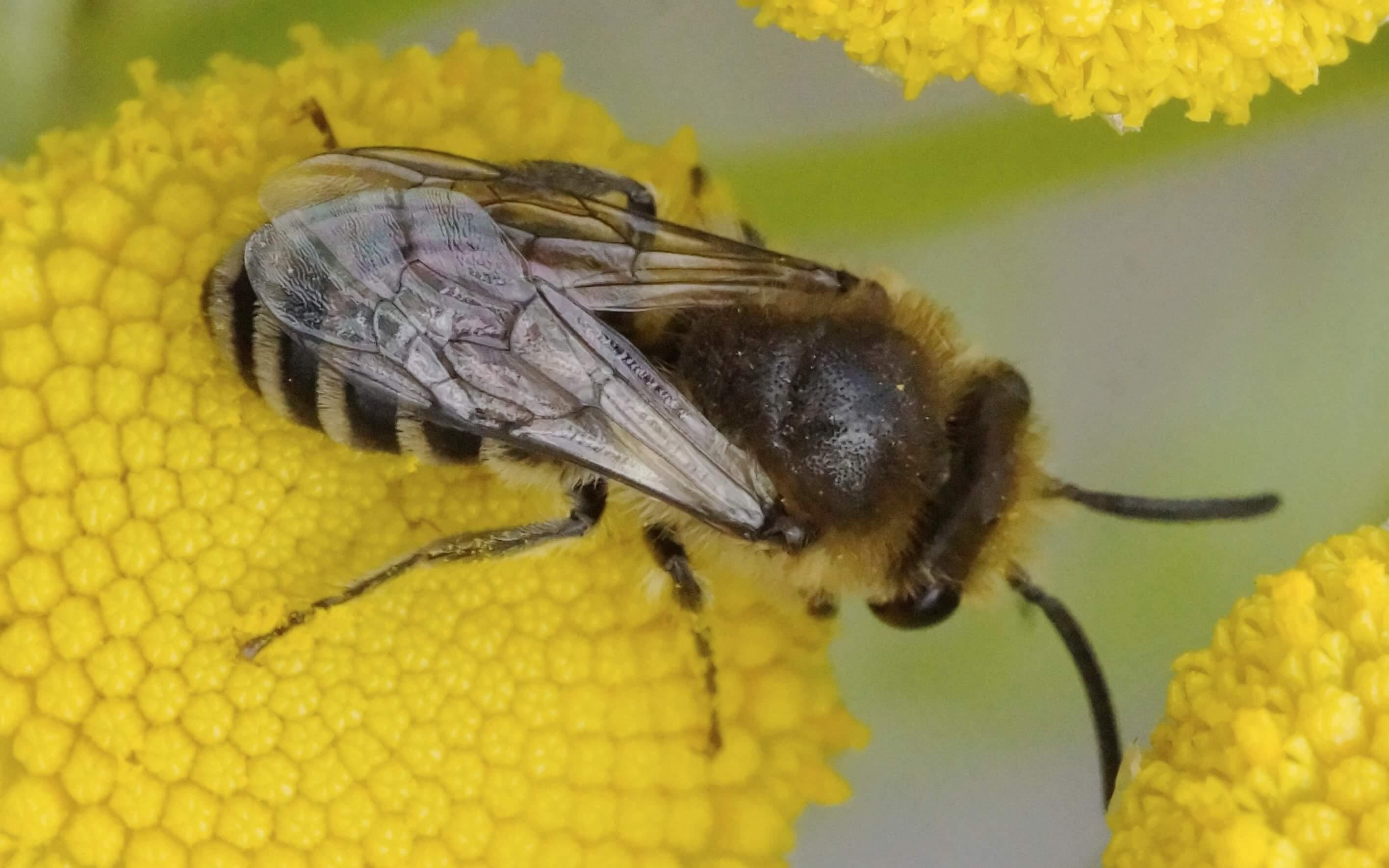 Colletes daviesanus-törmäiskomehiläinen, koiras (det. Juho Paukkunen)