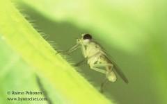 Cordilura albipes 2