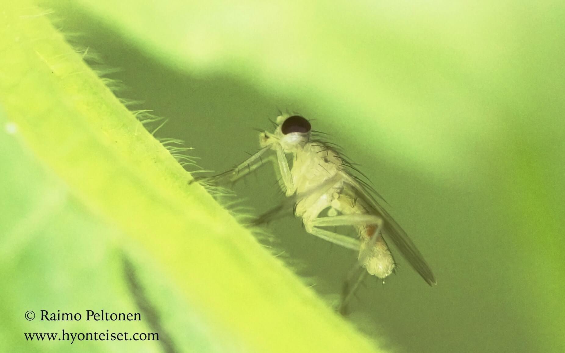 Cordilura albipes (det. Nikita Vikhrev)