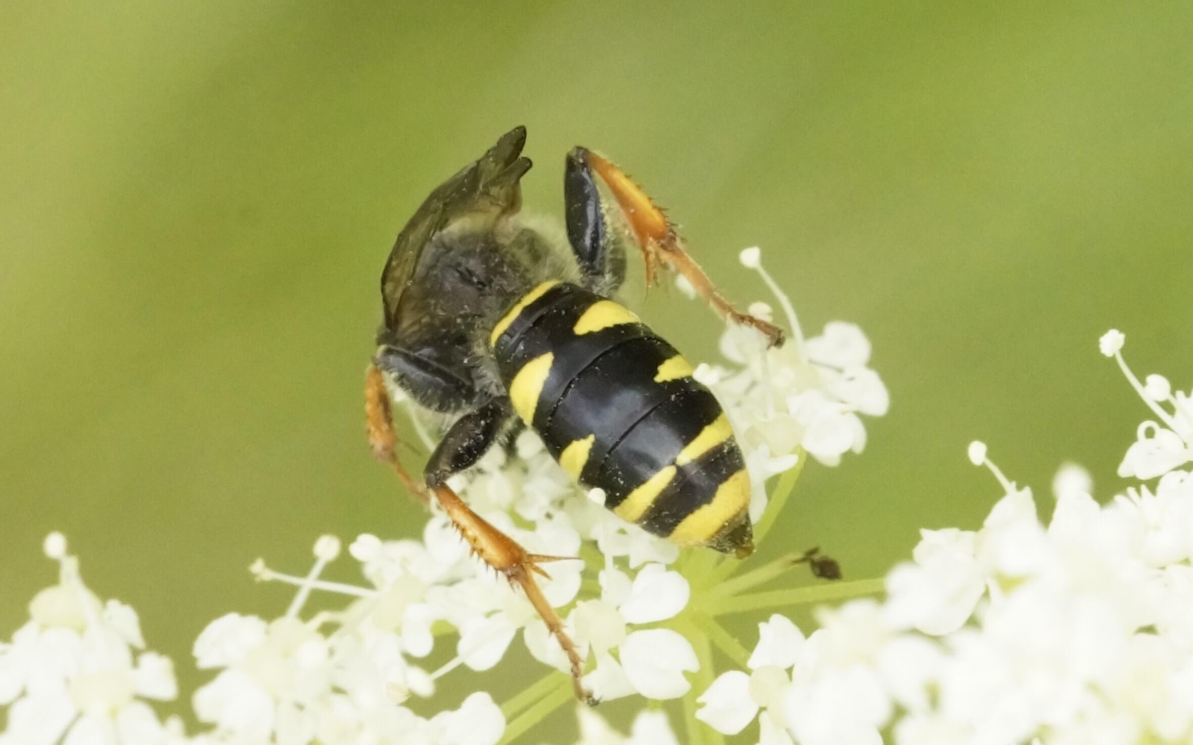 Crabro cribrarius-isokiiltohukka, naaras (det. Juho Paukkunen)