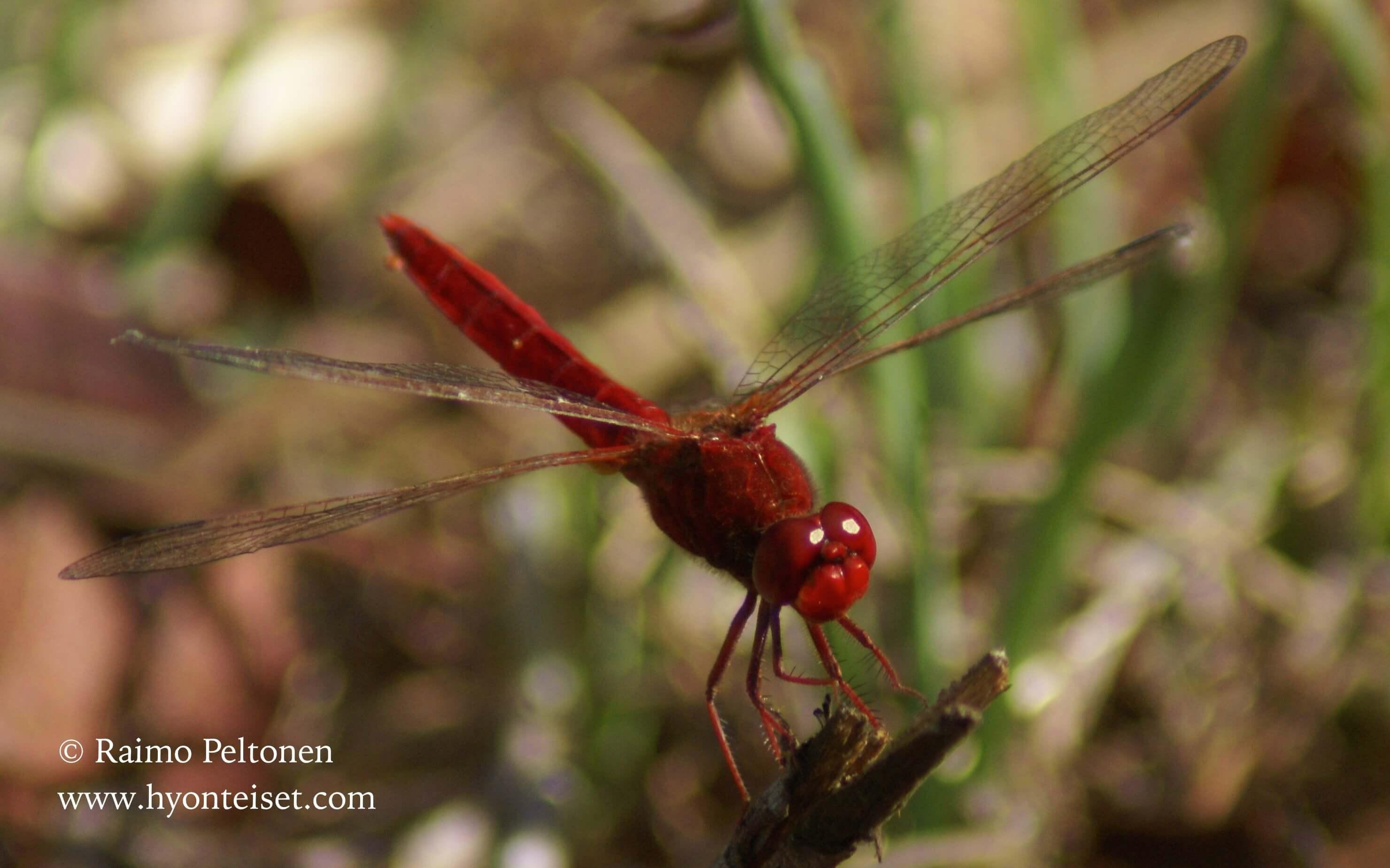 Crocothemis erythraea (Libellulidae) (det. Sami Karjalainen) MALLORCA
