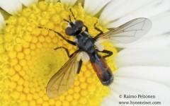 Cylindromyia interrupta 1
