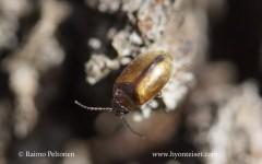 Cyphon cf. variabilis
