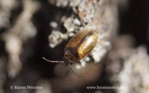 Contacyphon cf. variabilis