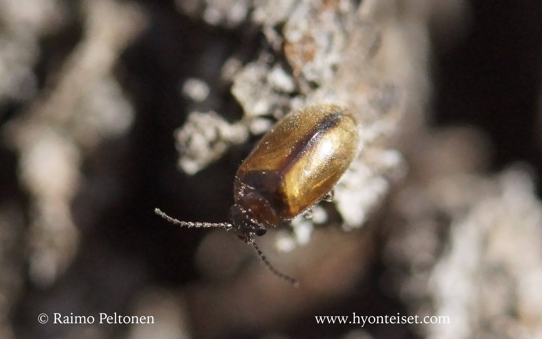 Cyphon sp.