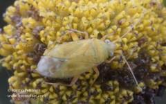 Megalocoleus tanaceti 1