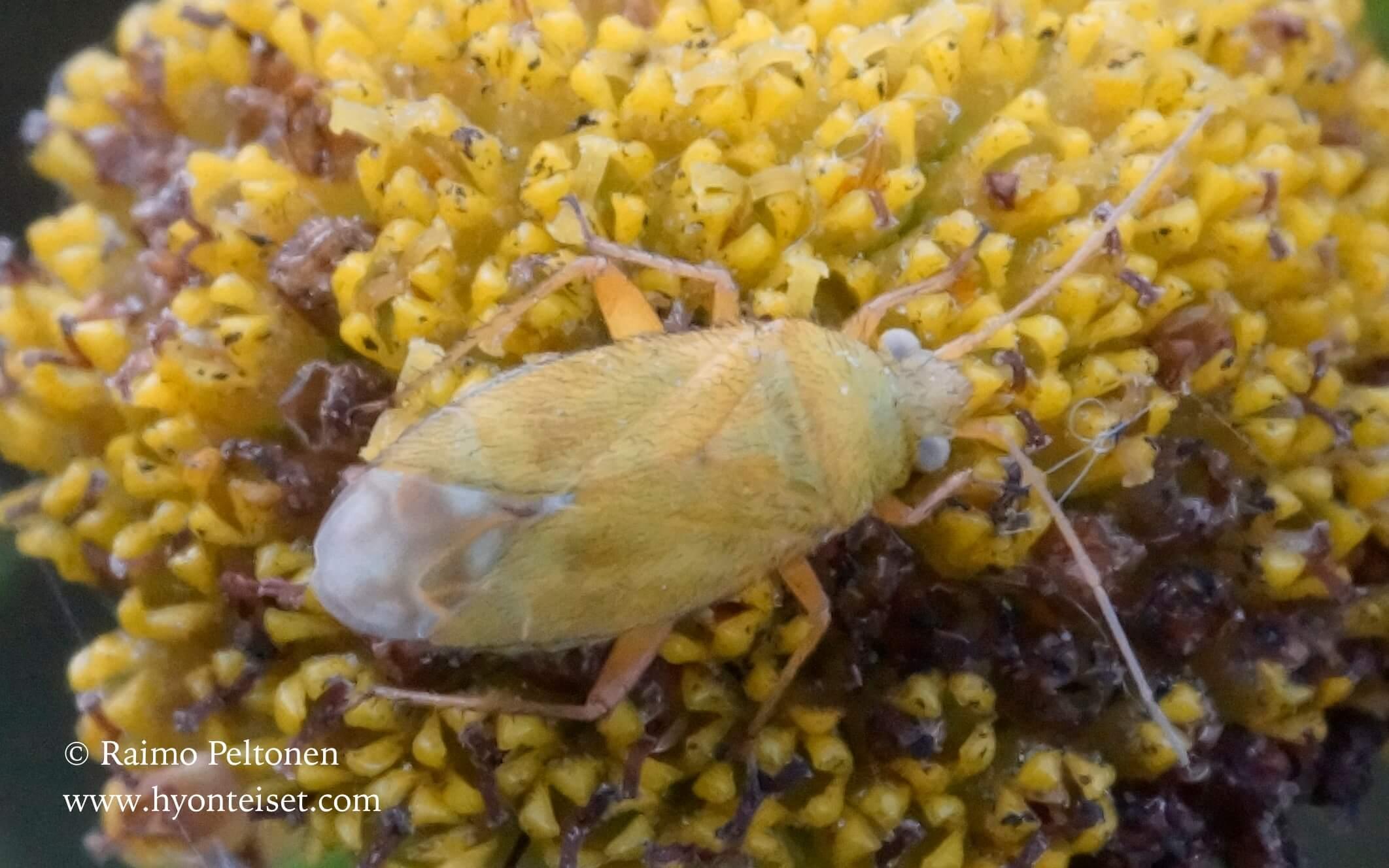 Megalocoleus tanaceti-keltamykerölude