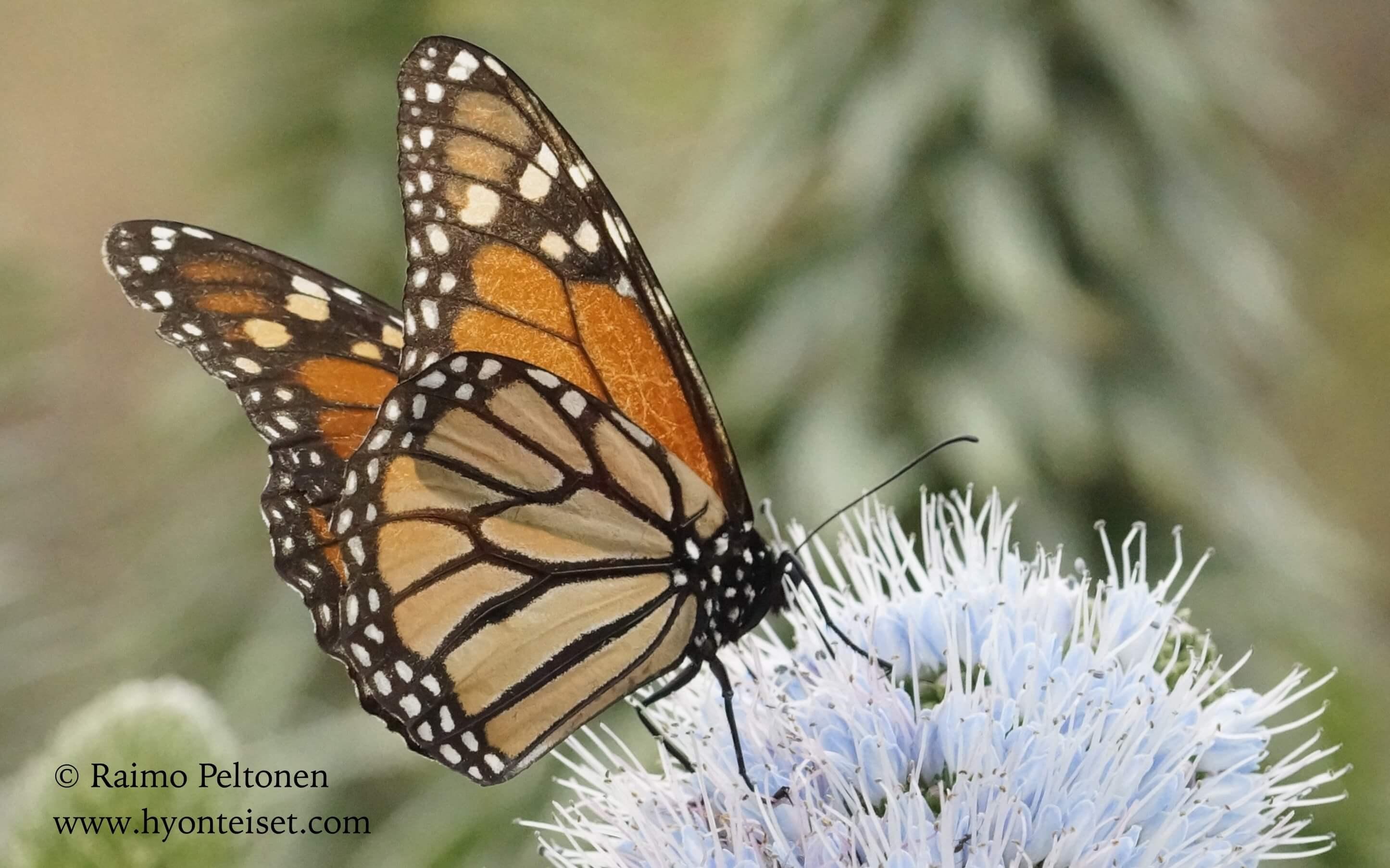 Danaus plexippus-monarkki (Nymphalidae) MADEIRA