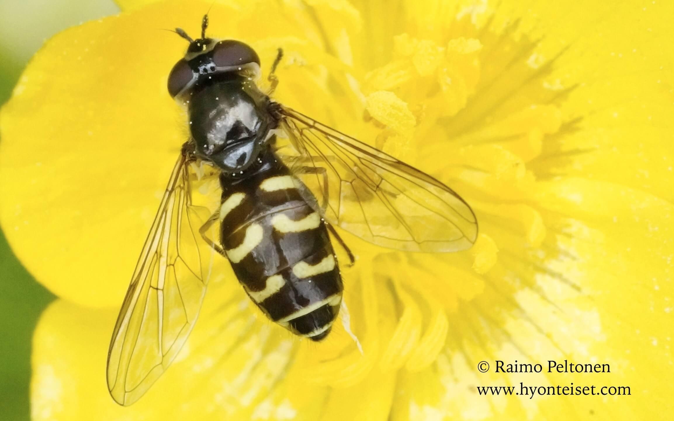 Dasyrphus pinastri-mäntyhakakirvari