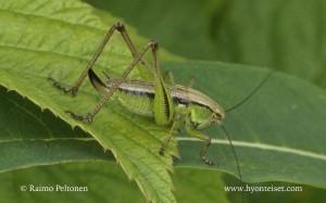 Metrioptera roeselii 2