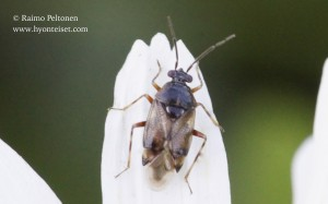 Deraeocoris cf. punctulatus