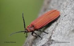 Dictyoptera aurora 2