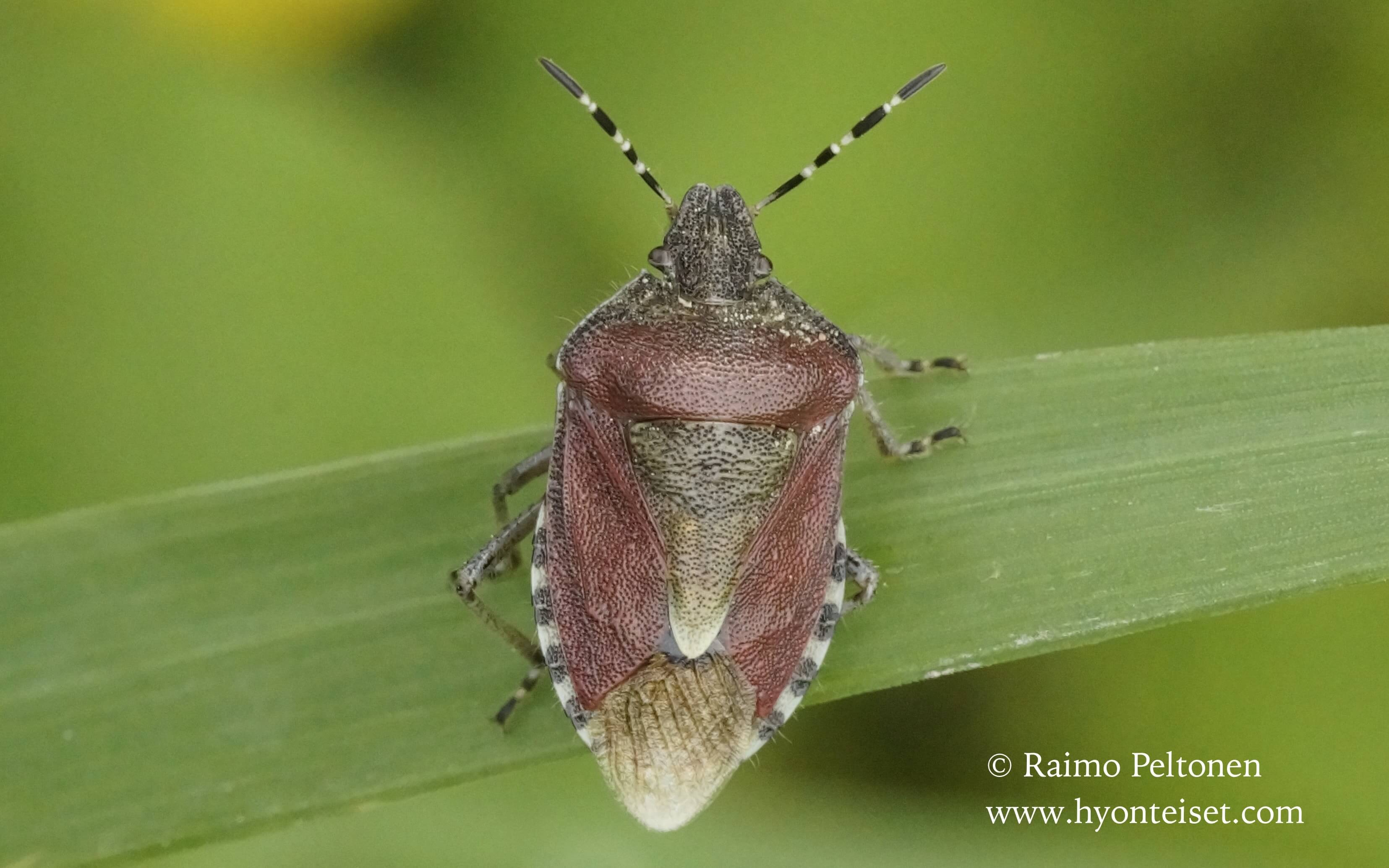 Dolycoris baccarum-marjalude
