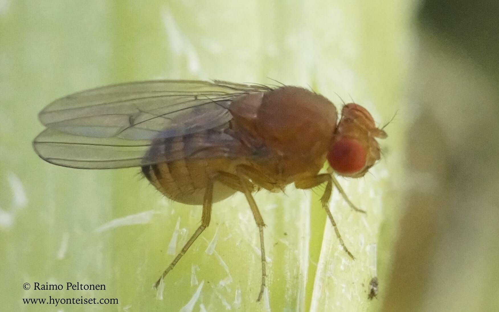 Drosophila histrio (det. Kaj Winqvist)