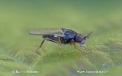 Elachiptera cornuta 2