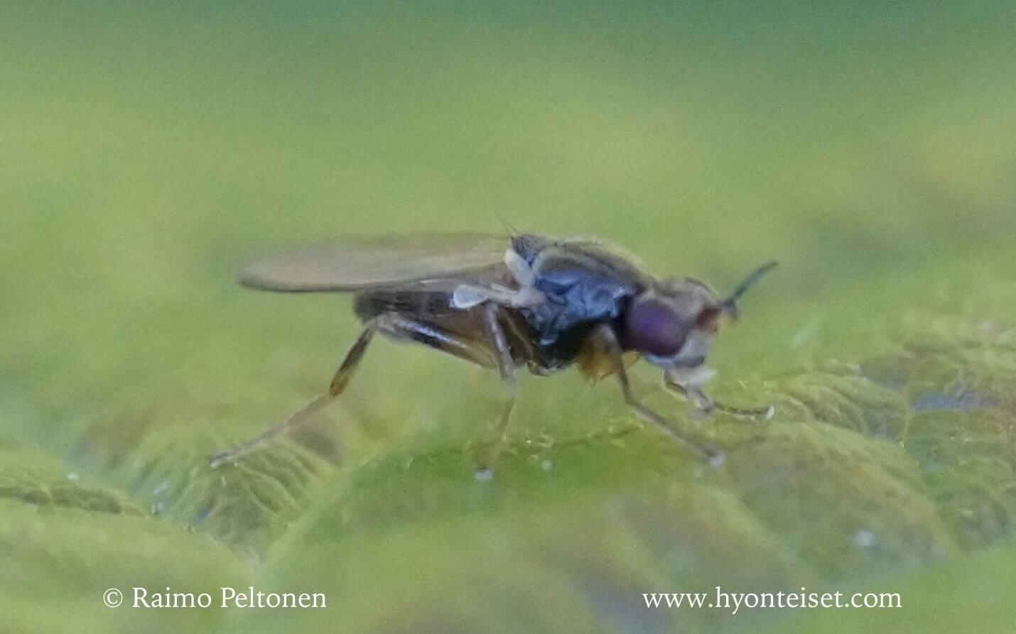 Elachiptera cornuta (det. Kaj Winqvist)