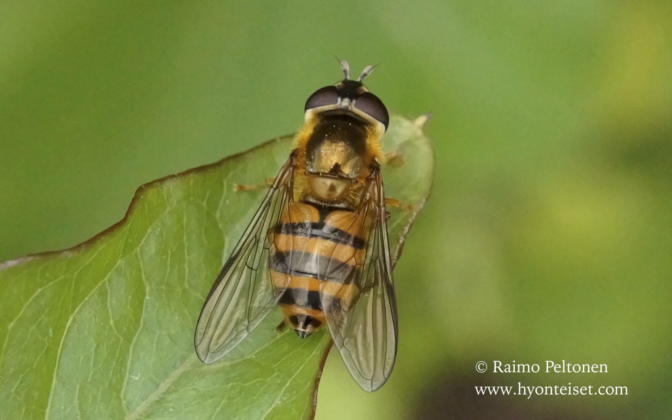 Epistrophe sp. (Syrphidae) (det. Antti Haarto) MALLORCA