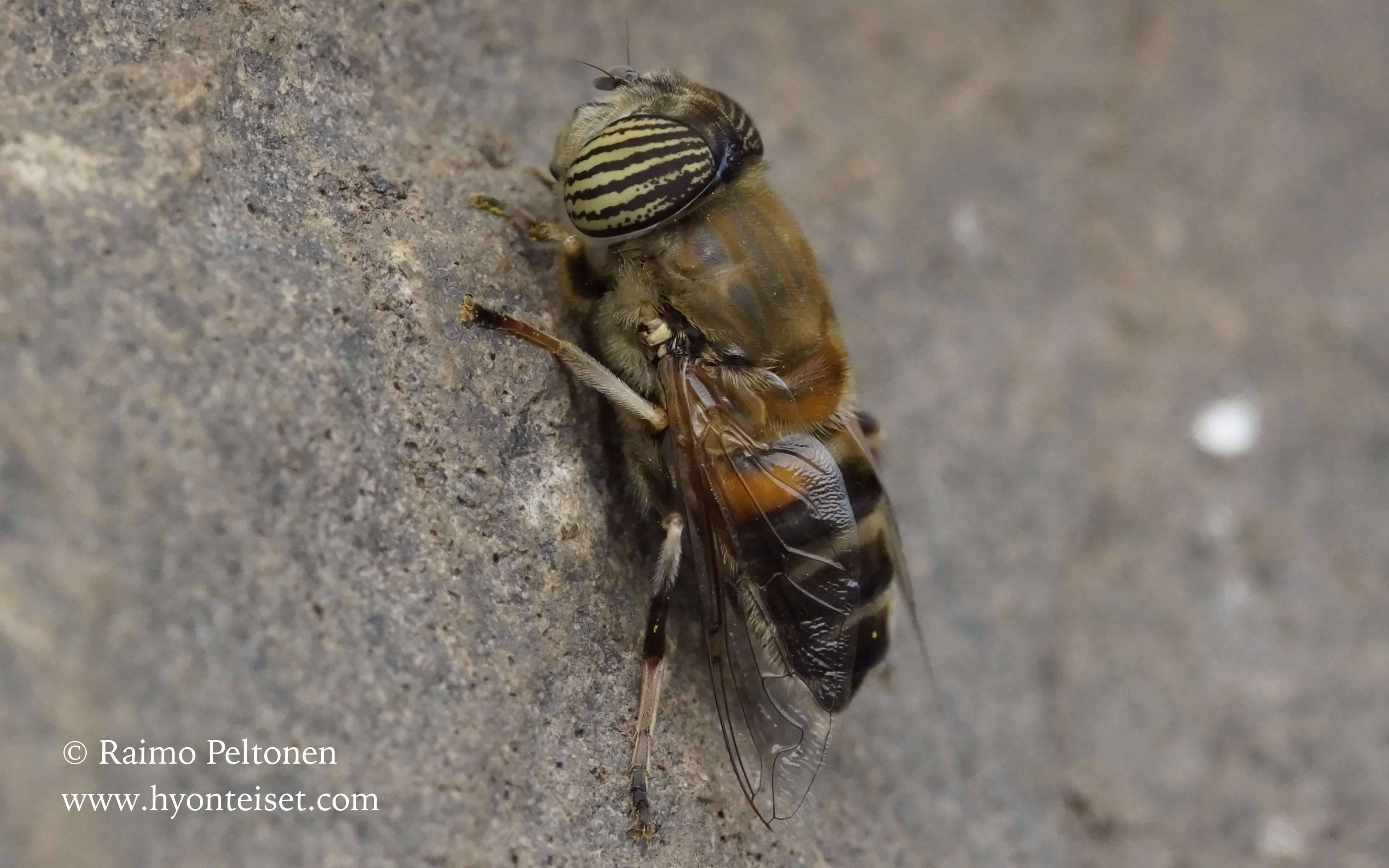 Eristalinus taeniops (Syrphidae) (det. Antti Haarto) MADEIRA