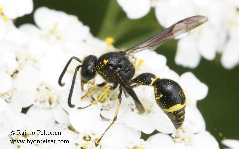 Eumenes cf. pencundulatus-niittymuurariampiainen (det. Juho Paukkunnen)