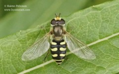 Eupeodes corollae 1