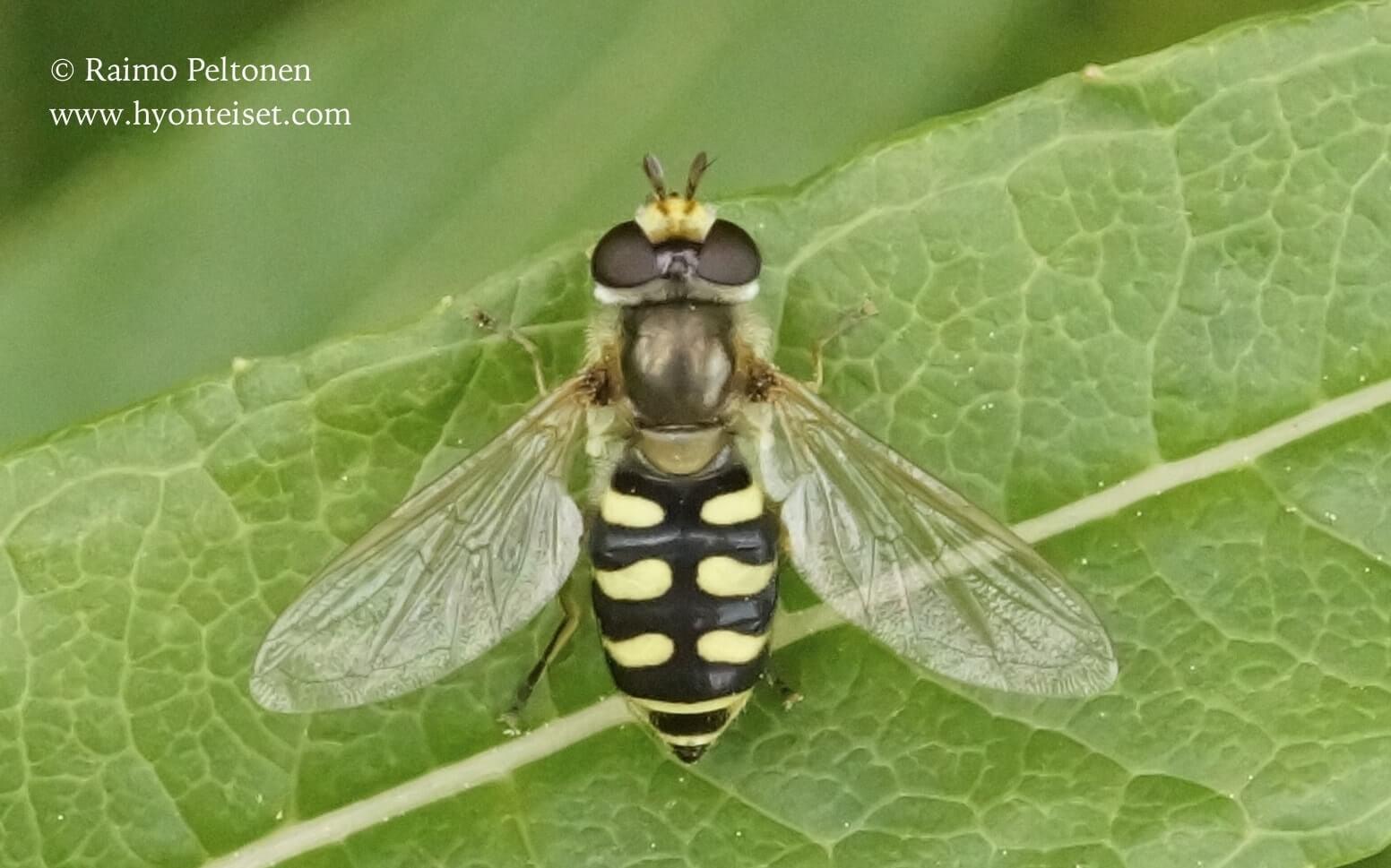 Eupeodes corollae-pienlaikkukirvari (det. Antti Haarto)