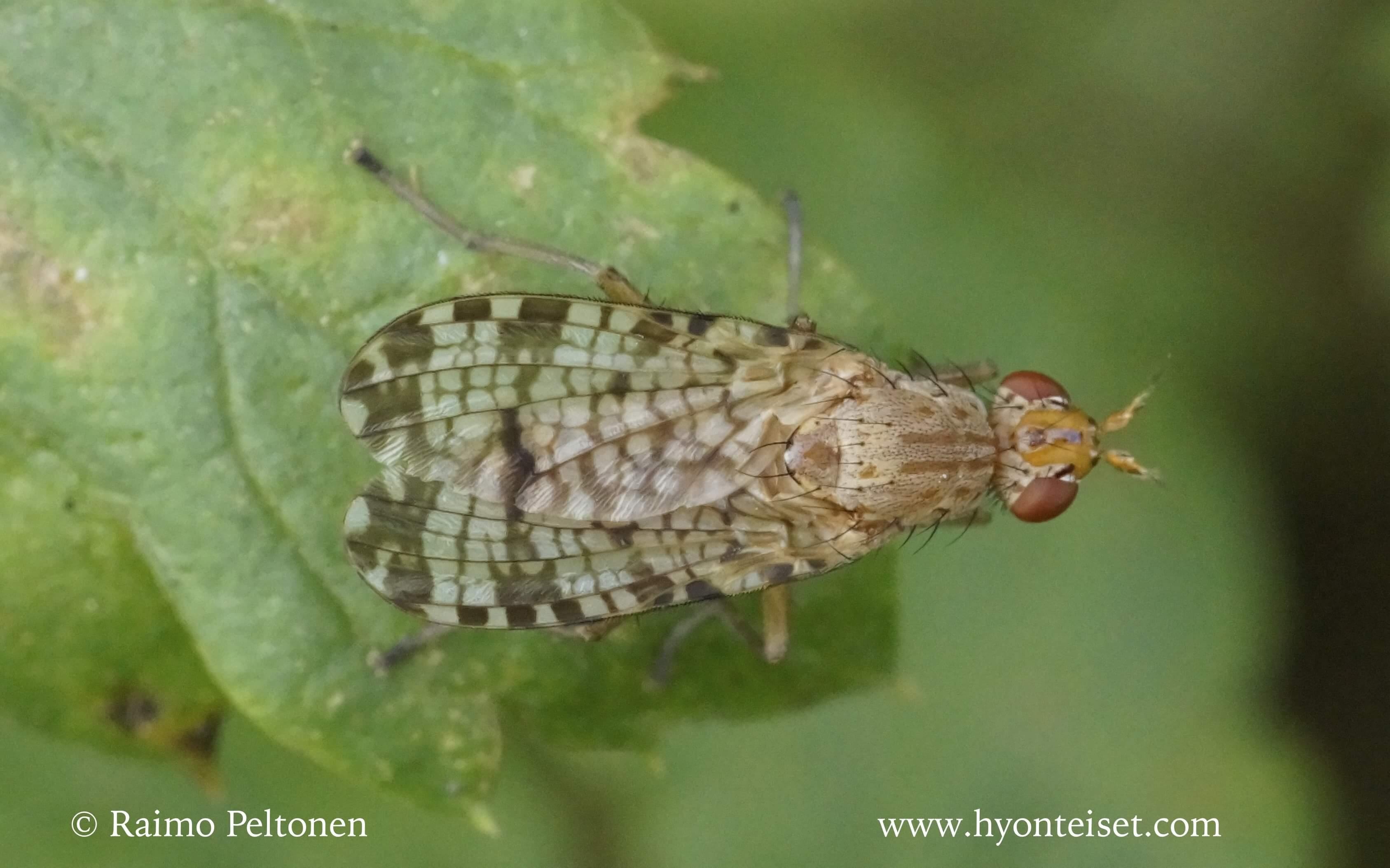 Euthycera chaerophylli (det. Jere Kahanpää)