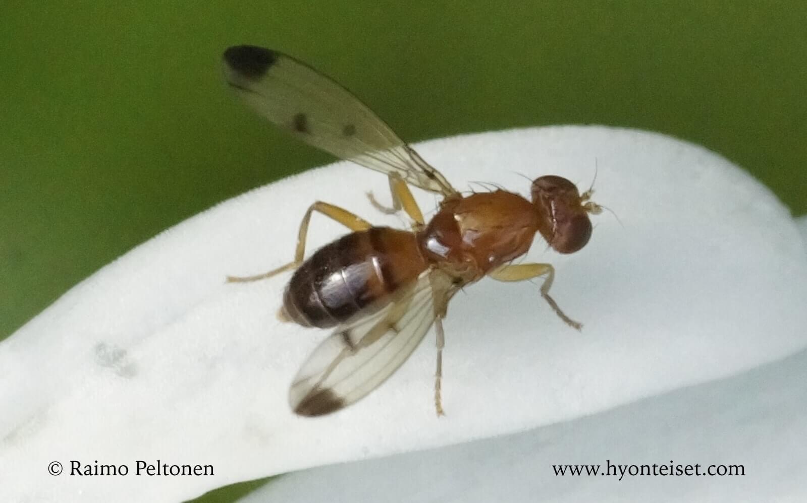 Geomyza sp.