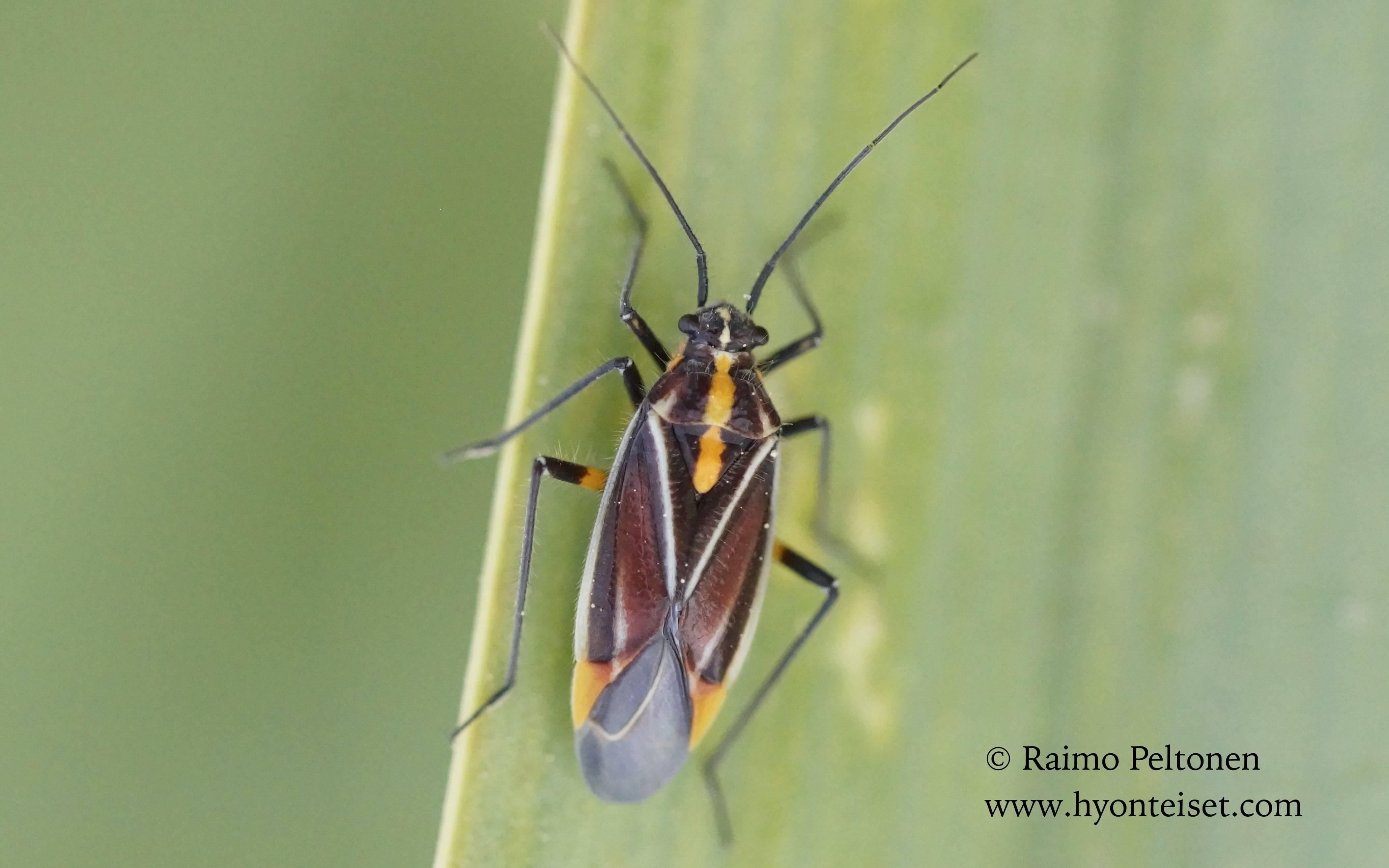 Horistus orientalis (Miridae) MALLORCA