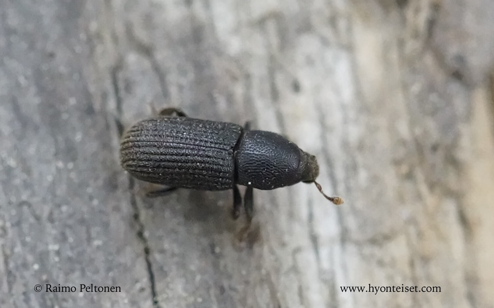 Hylastes cunicularius-kuusenniluri (det. Juha Salokannel)