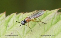 Imantimyia fulviventris