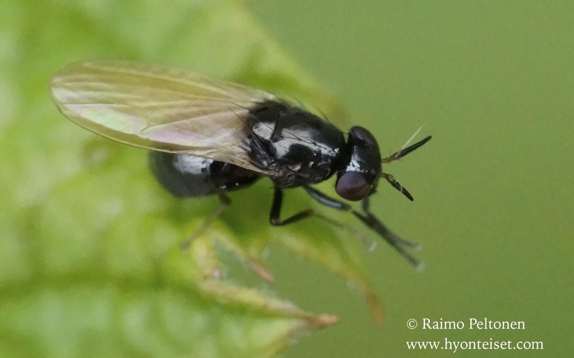 Lauxania cylindricornis (det. Kaj Winqvist)