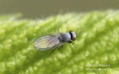 Leucopis sp. 1