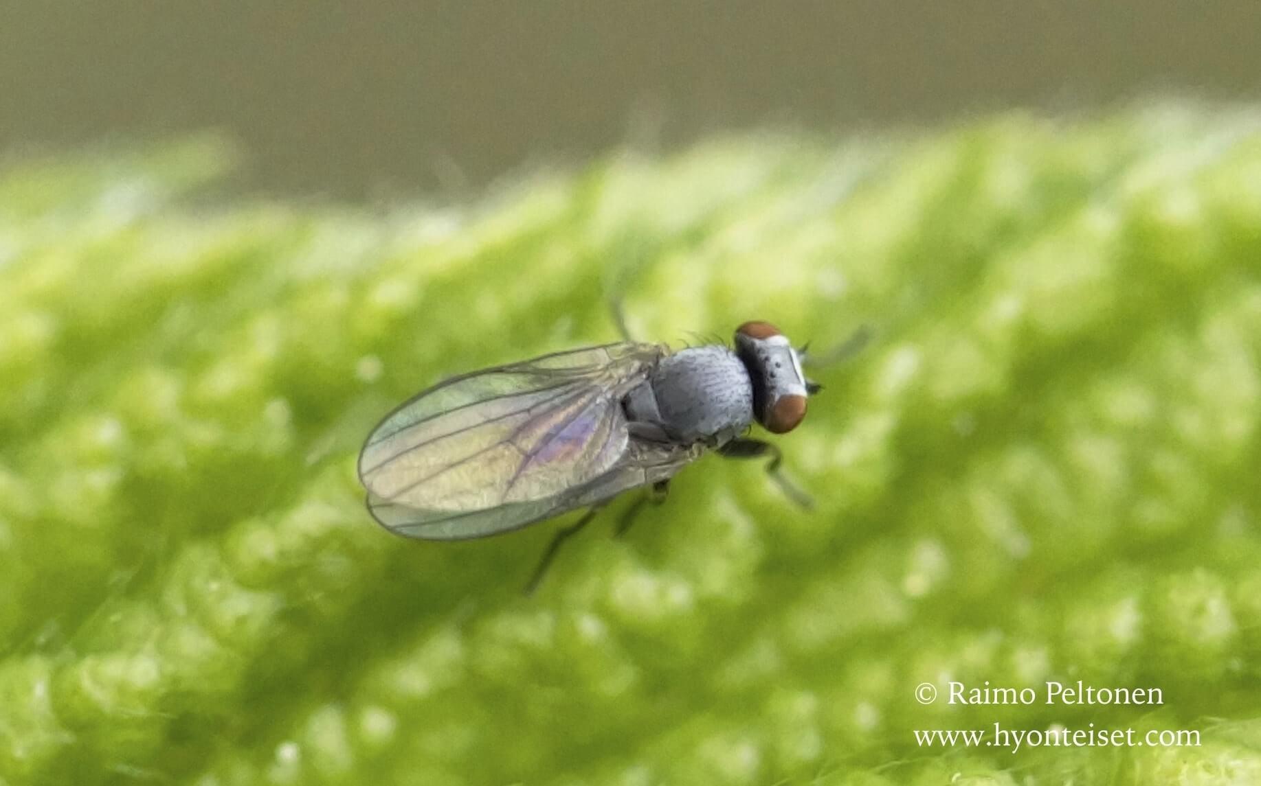 Leucopis sp. (det. Kaj Winqvist)