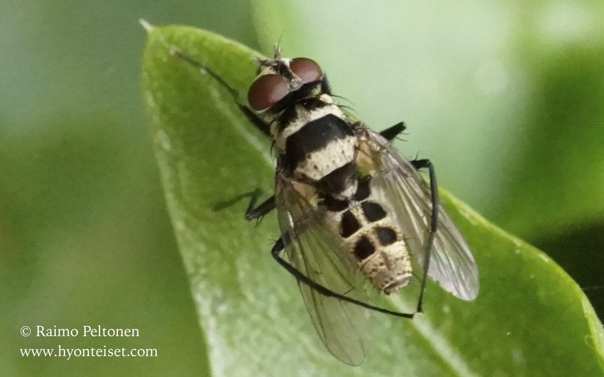 Limnophora quaterna, koiras (Muscidae) (det. Piluca Alvarez) GRAN CANARIA