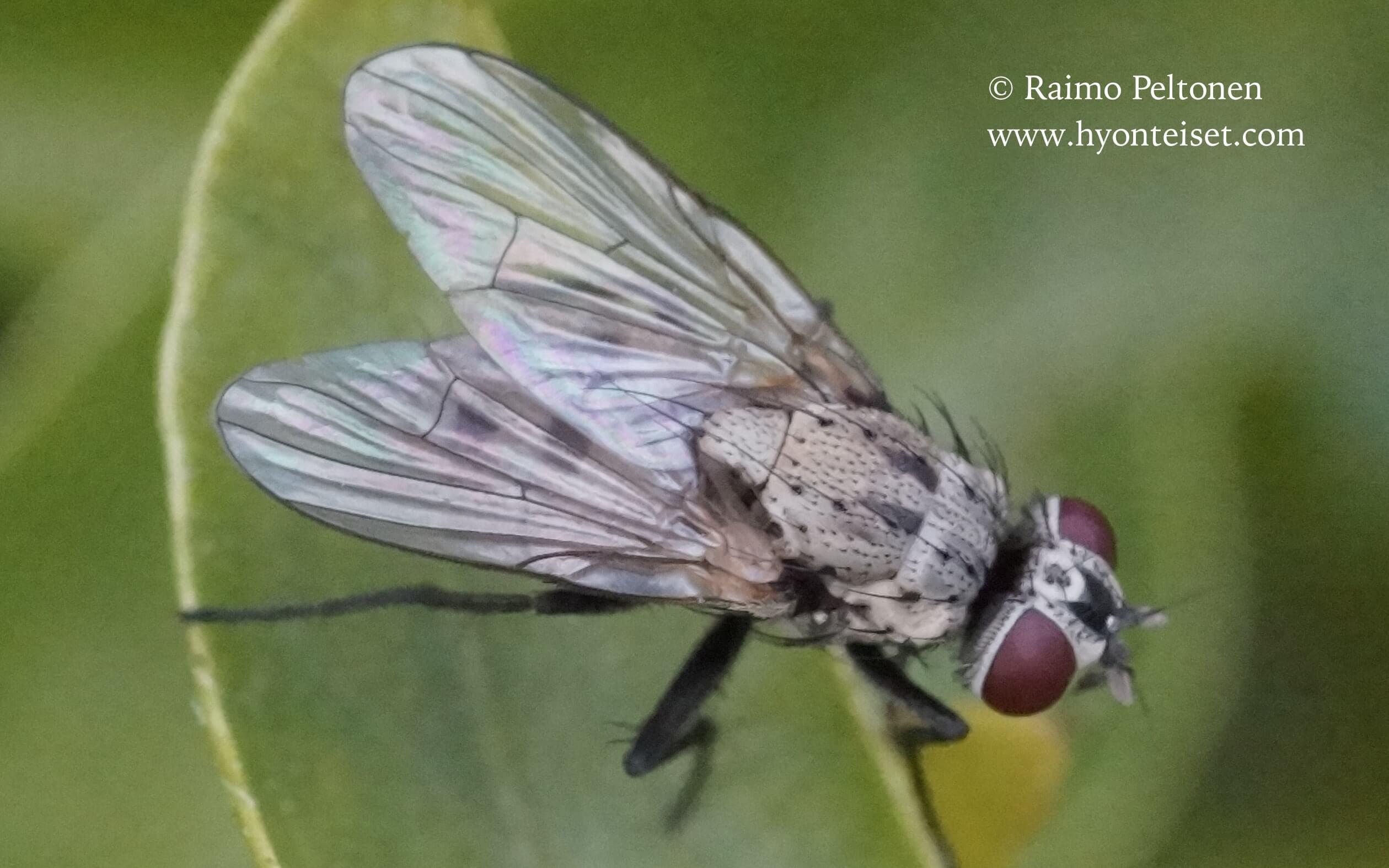 Limnophora quaterna, naaras (Muscidae) (det. Piluca Alvarez) GRAN CANARIA