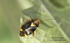 Liocoris tripustulatus 1